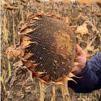 Семена гибридов подсолнчника под ЭКСПРЕСС(50г/га) Элион и Тальда