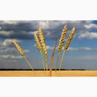 Семена оз пшеницы сильные и ценные сорта Алексеич, Ахмат, Безостая-100, Гром, Еланчик, Юка