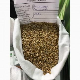 Мягкая яровая пшеница линия F04-14