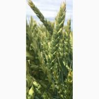 Семена озимой мягкой пшеницы сорт Лилит ЭС/РС2