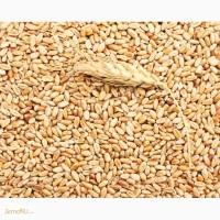 Продаю пшеницу 1 класса