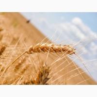 Семена озимой пшеницы Алексеич, Антонина