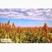 Продаю семена Сорго зернового
