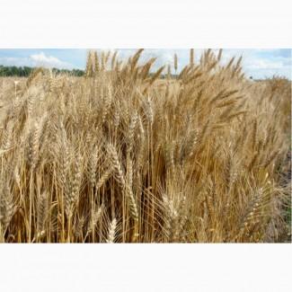 Семена озимой пшеницы Баграт, Безостая 100
