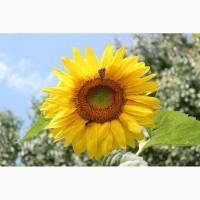 Гибриды семена подсолнечника Неома, Тристан, Санай, Фортими(Сингента, Syngenta) Clearfield