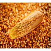 Кукуруза оптом на экспорт