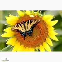 Гибриды семена подсолнечника Мегасан, Тунка, Голдсан, ЛГ 5550, ЛГ5485(Лимагрен, Limagrain)