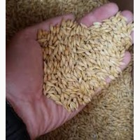 Семена ячменя addison канадский трансгенный сорт пивоваренный