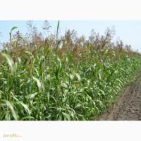 Продаю семена суданской травы