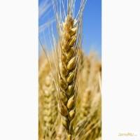 Семена озимой пшеницы сорта Бригада, Баграт, Безостая 100