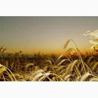 Семена озимой пшеницы Гром, Гурт