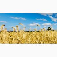 Семена озимой пшеницы сорт Жива