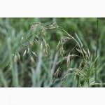 Продаём семена овсяницы тростниковидной