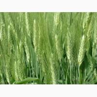 Семена твердой пшеницы Диона элита