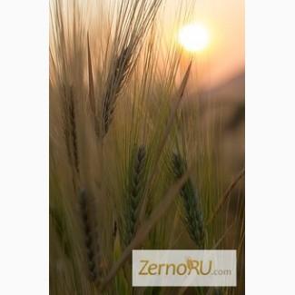 Семена Озимого ячменя Ерема