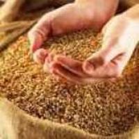 Продаём пшеницу фуражную фуражная Био