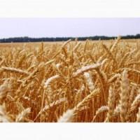 Семена озимой пшеницы Нота