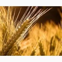 Срочно купим пшеницу 3 класс, на порту Астрахань