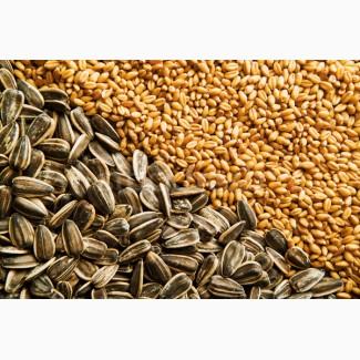 Подcoлнечник Пшеница
