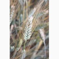 Семена озимой пшеницы Сила