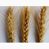 Семена озимой пшеницы высокого качества