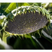 Семена подсолнечника среднеспелый сорт Крупняк