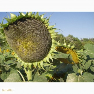 Гибриды семена подсолнечника ПИОНЕР П63ЛЕ10, П63ЛЕ25
