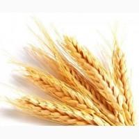 Семена озимой пшеницы Уруп