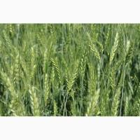 Семена элитной озимой пшеницы твердой
