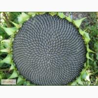 Гибриды семена подсолнечника Пионер ПР64Ф66, ПР64Х32