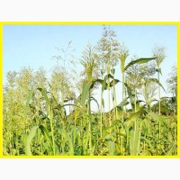 ООО НПП «Зарайские семена» закупает семена Суданской травы от 20 тонн