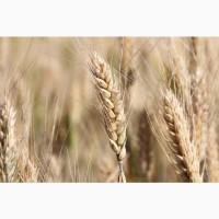 Семена озимой пшеницы Тимирязевка-150 ЭС