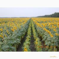 Гибриды семена подсолнечника Пионер ПР64Ф50, ПР63А90