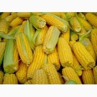 Семена кукурузы гибриды СКАП 301, РОСС 140 СВ, Краснодарский 507 АМВ и др