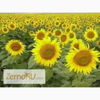 Гибриды семена подсолнечника гибрид НК Роки, НК Брио, НК Конди, Савинка, Кадикс - Syngenta