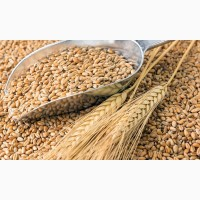Пшеница 1000т с НДС