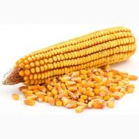 Продаем семена кукурузы от производителя