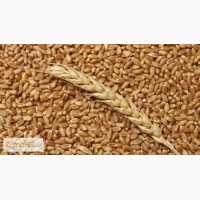 Закупаю пшеницу 3, 4, 5 кл, ячмень, овес