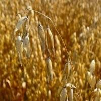 Семена овса СИГ (СЭ, ЭС, РСт-1)