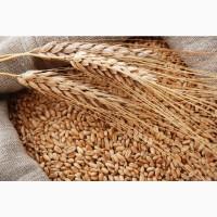 Закупаем пшеницу 3, 4, 5 классов