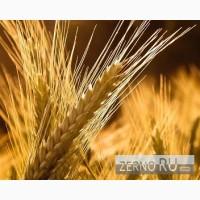 Пшеница озимая Московская 56
