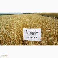 Пшеница яровая сорт «Радуга»