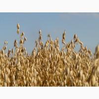 Семена овса Талисман (ЭС, РС-1)