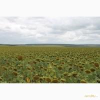 Семена подсолнечника пионер пр64ф66