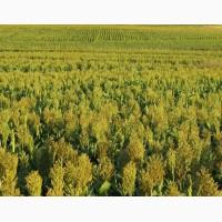 Семена: сорго сахарное, суданская трава