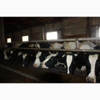 Быки и коровы на убой, Нижний Новгород