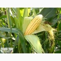 Гибриды семена кукурузы ДКС (МОНСАНТО, Monsanto, ДКС)