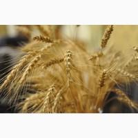 Семена озимой пшеницы сорт Ахмат
