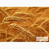 Семена озимой пшеницы Васса, Велена