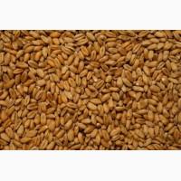 Пшеница фуражная новый урожай 2017